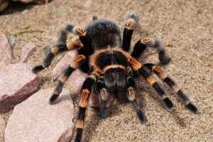 Tarantula One of Albrechts 5 Types of Fears